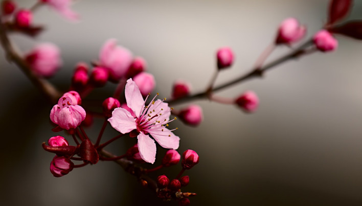 15 Pictures – Cherry Blossom