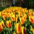 15 Pictures – Tulips