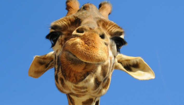 15 Pictures – Giraffes